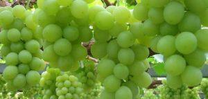 فوائد العنب الأخضر للكلى