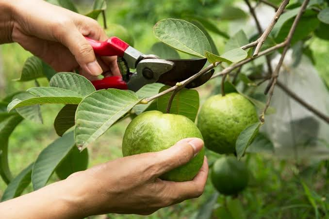 فوائد ورق الجوافة