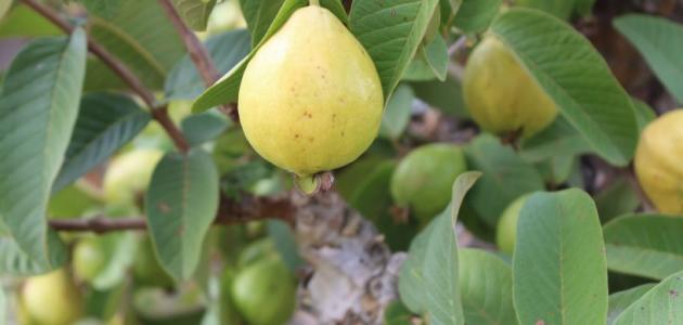 فوائد ورق الجوافة للحساسية