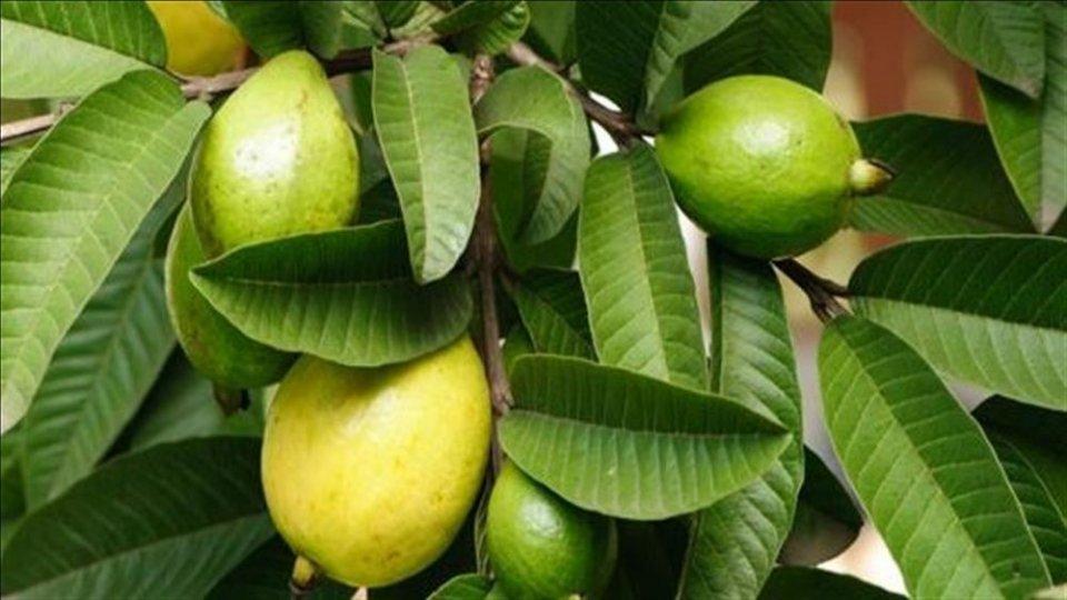 فوائد اوراق الجوافة المجففة