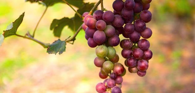 فوائد العنب الاحمر للشعر