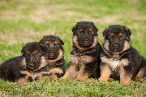 صور كلاب جيرمن