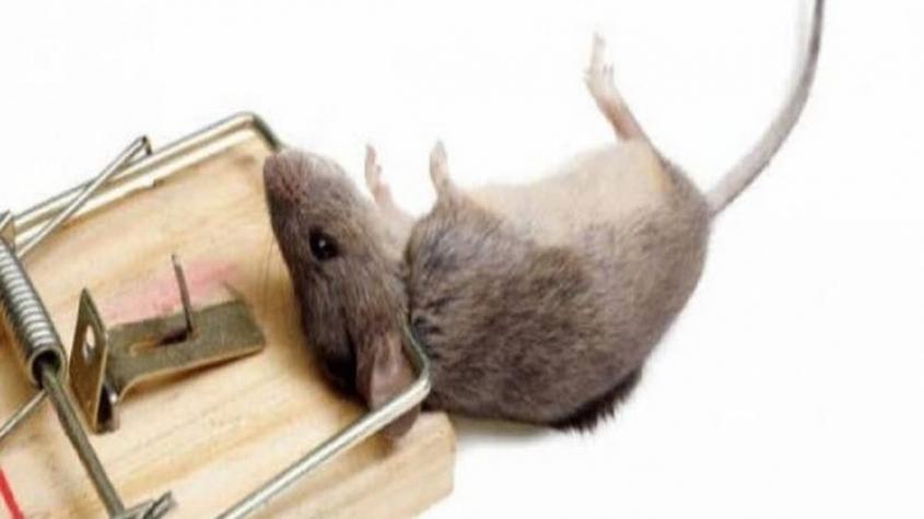 كيفية التخلص من الفئران نهائيا