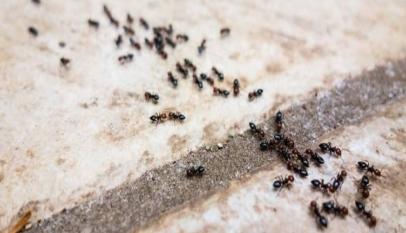 كيفية التخلص من النمل الاحمر الصغير