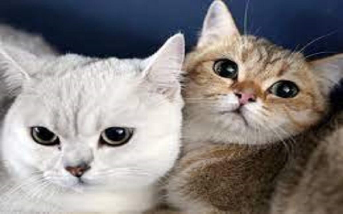 كيفية التخلص من البراغيث في القطط