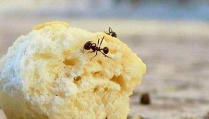 بودرة النمل