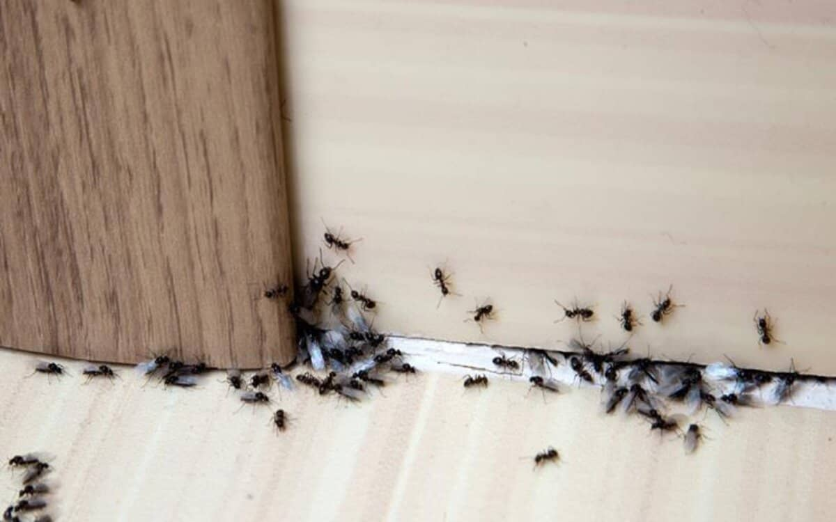 كيفية القضاء على النمل الطائر