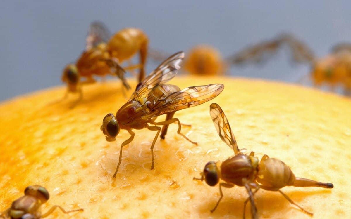 كيفية القضاء على ذبابة الفاكهة